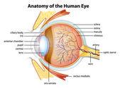 Insan gözünün anatomisi — Stok Vektör