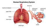 Układ oddechowy człowieka — Wektor stockowy