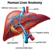 Human Liver Anatomy — Stock Vector