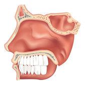 Nasal Cavity — Stock Vector