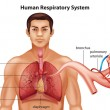 Respiratory System of Humans — Grafika wektorowa