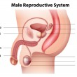 ������, ������: Male reproductive system
