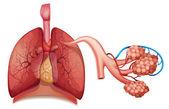 Дыхательная система — Cтоковый вектор