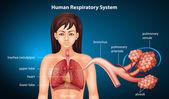Insan solunum sistemi — Stok Vektör