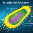 Bacteria cell structure — Stockvectorbeeld