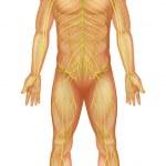 Постер, плакат: Human nervous system