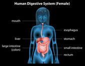 Human digestive system — Stock Vector
