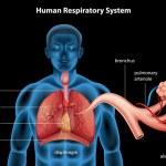 Постер, плакат: Respiratory System