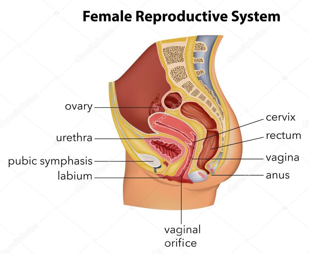 Система Репродуктивная фото