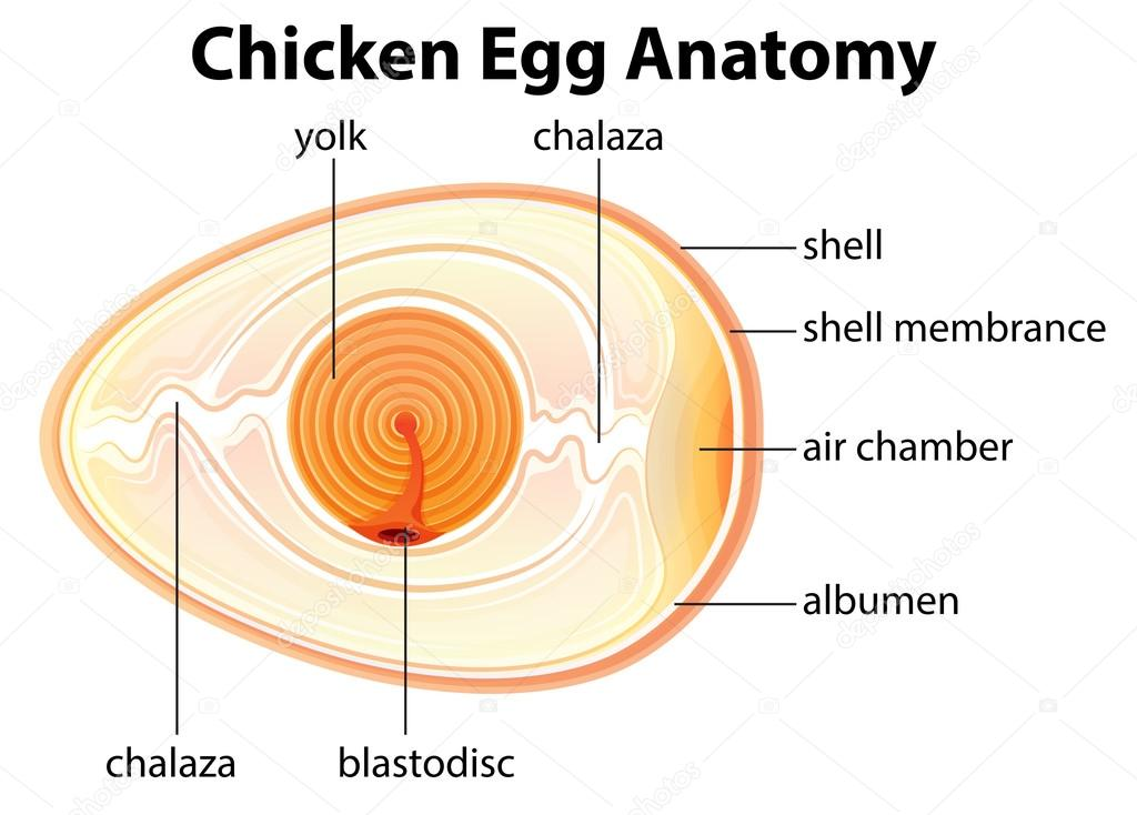 Avian Reproduction Anatomy amp the Bird Egg People Search - induced.info