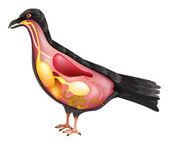 Anatomy of the Bird — Stock Vector