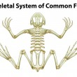 Skeletal system of a common frog — Stock Vector