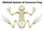 Skeletal system of a common frog — Vetor de Stock