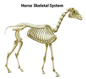 Kosterní systém koně — Stock vektor