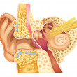 Inner ear — Stock Vector