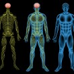 Постер, плакат: Male nervous system