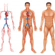 Male circulatory system — Vetorial Stock #34467717
