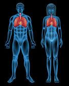Respiratory System — Stock Vector