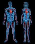 Circulatory system of a human — Stock Vector