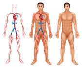 Male circulatory system — Vetorial Stock
