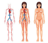 Female circulatory system — Vetorial Stock