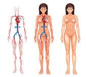 Sistema circulatório feminino — Vetor de Stock