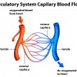 Circulatory System - Capilary blood flow — Vetorial Stock #36147167