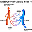 Stock Vector: Circulatory System - Capilary blood flow
