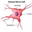 Human nerve cell — Stock Vector