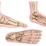Постер, плакат: Foot bones