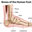 Bones of the human foot — Image vectorielle