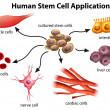 Human Stem Cell Applications — Stock Vector