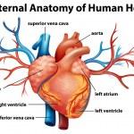 Anatomy of the human heart — Stock Vector