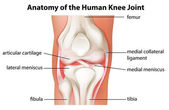 Human knee joint anatomy — Stock Vector