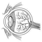 Human eyeball — Stock Vector