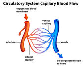 Circulatory System - Capilary blood flow — Stock Vector