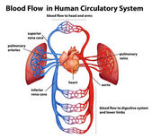 Blood flow in human circulatory system — Stock Vector