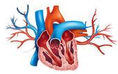 Menselijk hart — Stockvector
