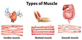 Types of muscle — Stock Vector