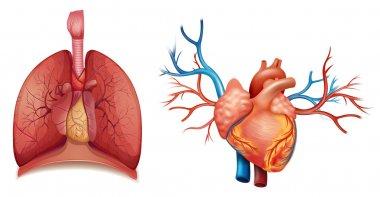 Heart organ