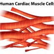 Humcardiac muscle cells — Stock Vector #39031531