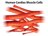 Human cardiac muscle cells — Stock Vector