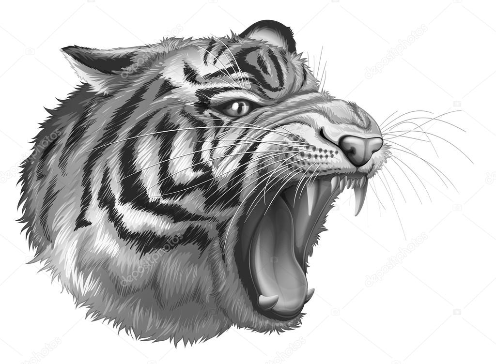 Black And White Tiger Background Illustration of a Grey Tiger Roaring on a White Background Vector by