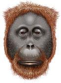 An orangutan — Stock Vector