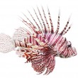 The Red Lionfish (Pterois volitans). — Stock Photo #12711357