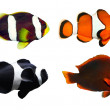 The Clownfish . — Stock Photo