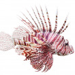 The Red Lionfish (Pterois volitans). - Stock Photo