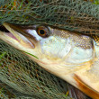 Big Pike (Esox lucius) on a landing net. — Stock Photo