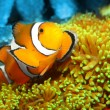 The Clownfish (Amphiprion ocellaris). — Stock Photo #12711473