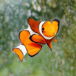 The Clownfish (Amphiprion ocellaris). - Stock Photo